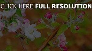 rosa blüten blüte zweig apfel frühling
