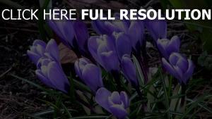 krokus gras erde frühling blüten blau