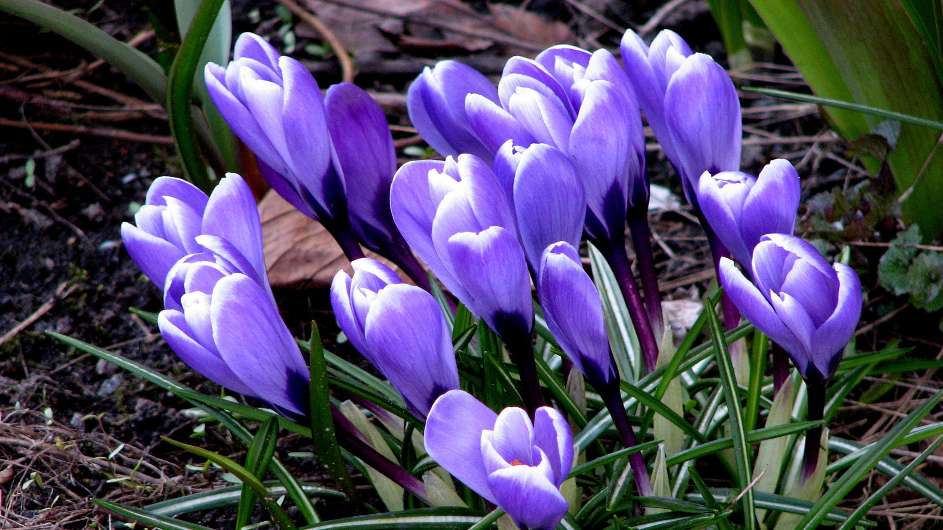 Geliebte HD Hintergrundbilder krokus gras erde frühling blüten blau &SI_49
