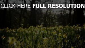 narzissen frühling gras wald blüte