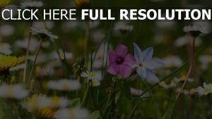 feld blüte löwenzahn gänseblümchen blütenblätter