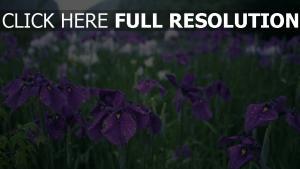 blüte iris lila tropfen wiese