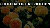 rosen üppig blüte garten stängel knospen