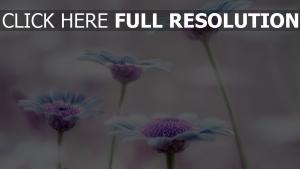gerbera blütenblätter lila unschärfe zoom
