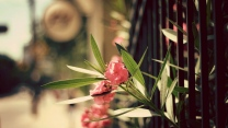 oleander blüte rosa blüten blätter hedge