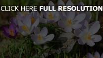frühlingsblumen schneeglöckchen empfindlich blütenblätter gras