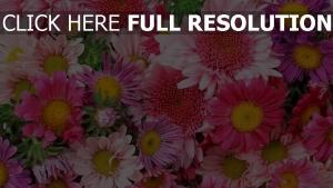 blumen bunte gerbera dahlie rosa