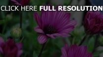 lila blumen blüten knospen zoom bokeh