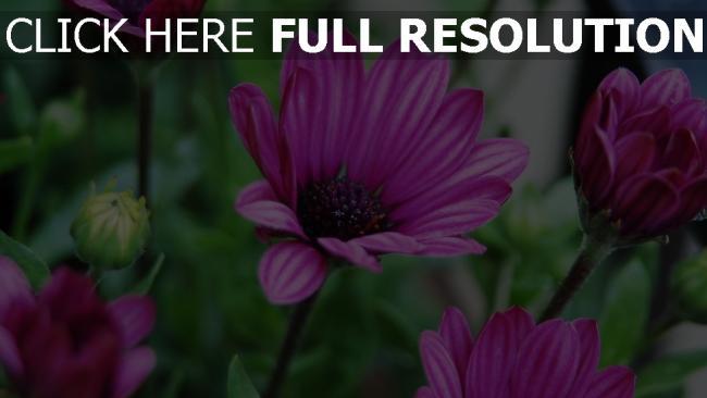 hd hintergrundbilder lila blumen blüten knospen zoom bokeh