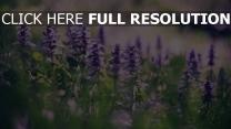 lila blüten gras frühling blüte bokeh glanz