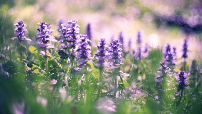 hd hintergrundbilder lila blüten gras frühling blüte bokeh glanz
