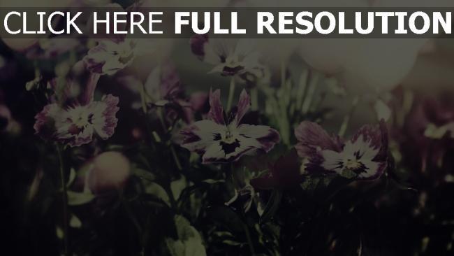 hd hintergrundbilder blütenblätter blüte lila weiß bokeh unschärfe