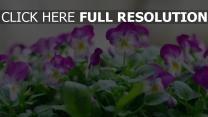 blüte stiefmütterchen blütenblätter lila weiß