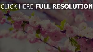 frühling kirsche blüte zweig blütenblätter licht