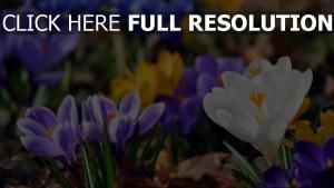 blühenden schneeglöckchen gelb blau weiß frühling