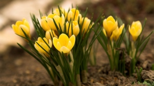 frühlingsblumen gelb schneeglöckchen