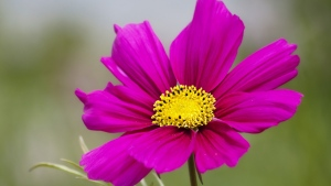 blütenblätter lila herz pollen