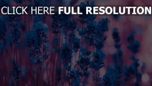 blüte blüten blau blüten stängel