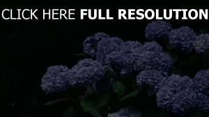 hortensie blüte frühling blaue blüten blätter