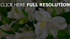 lilie blüten strauß knospen
