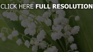 lilien blühen frühling stengel weißen blüten