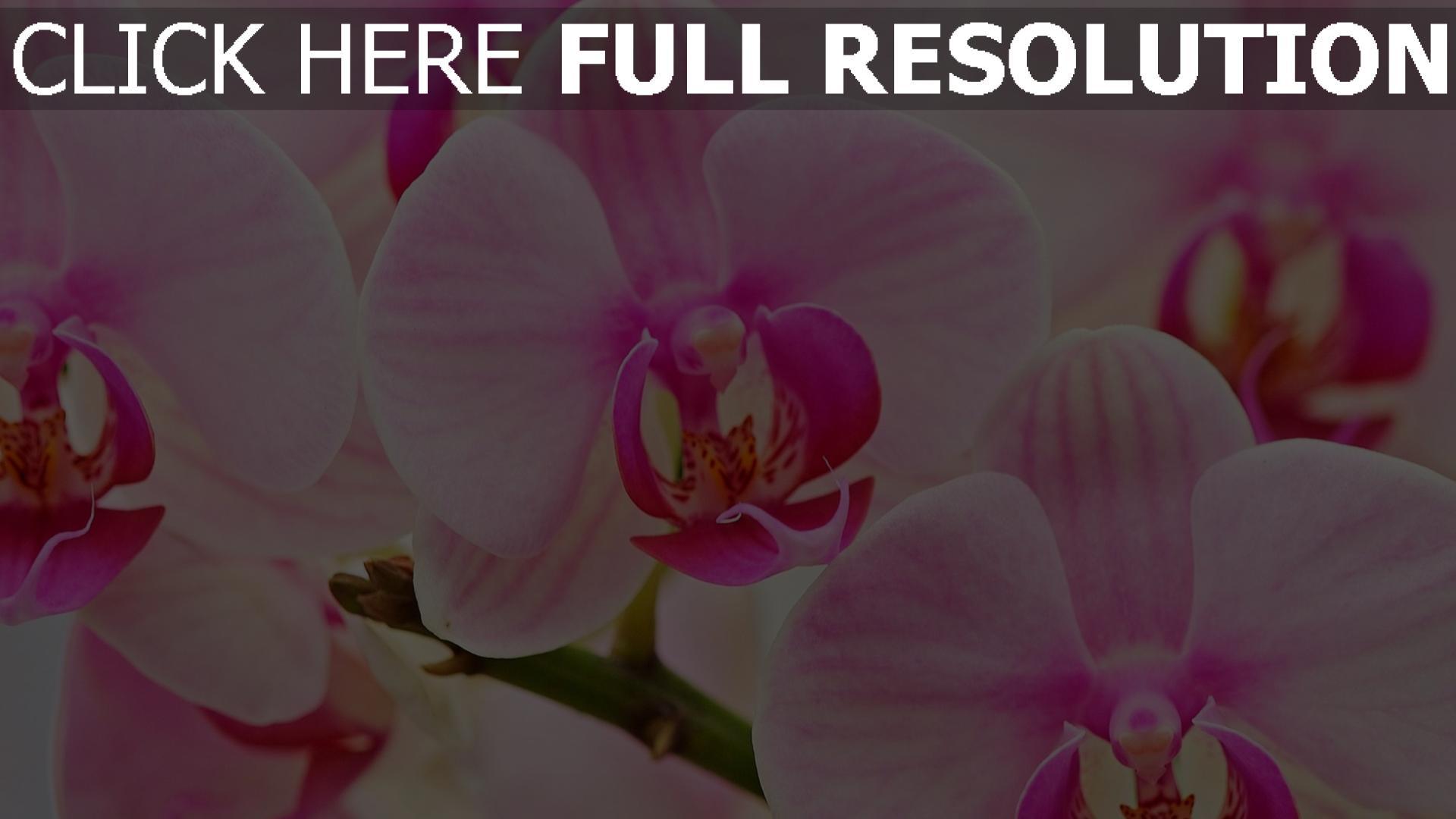 hintergrundbilder orchideen