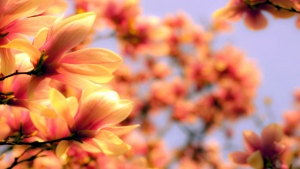 magnolienblüten zweige frühling blüte unschärfe