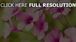 rosa blütenblätter gestreift blüte unschärfe