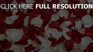 blütenblätter rot weiß viele