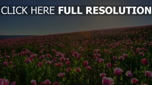 mohn set rosa blüten blüte sommer