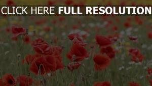 feld blüte sommer rote mohnblumen