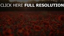 blüte feld mohnblumen sonnenuntergang unschärfe