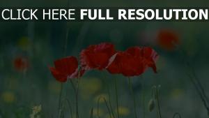 blütenblätter rot blüte sommer mohn