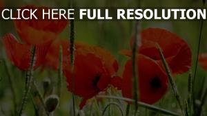 rote mohnblumen blütenblätter blüte gras stengel