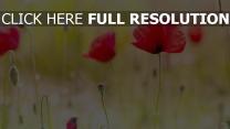 blühenden mohnblumen rot unschärfe knospe