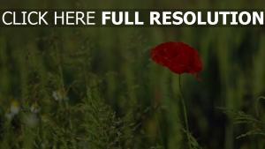 mohn gras blühen sommer unschärfe