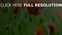mohnblumen blühen feld sommer stengel knospen