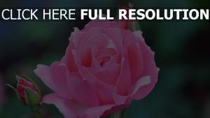 rose rosenblüten knospen blüten