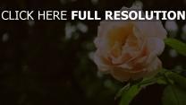 rose zart blütenblätter verwischen bokeh