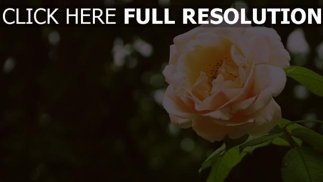 hd hintergrundbilder rose zart blütenblätter verwischen bokeh