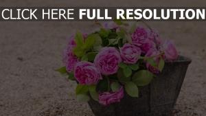 rosen rosa eimer blume blüte