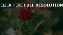 rose rot verschwimmen sommer blüte