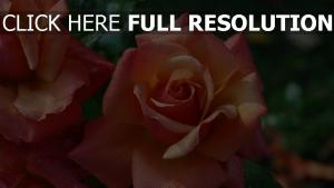 rose feuchtigkeit tropfen blumen blüten pfirsich