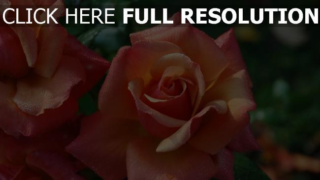 hd hintergrundbilder rose feuchtigkeit tropfen blumen blüten pfirsich
