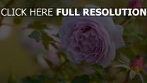 rosa rose blätter blüte unschärfe