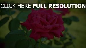 blüte sommer rose blütenblätter stengel