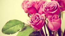 strauß rosen rosa blüten stängel unschärfe