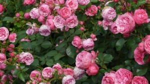 rosen blühen garten knospen blätter sommer