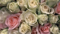 rosen blütenblätter rosa weiß knospen zart