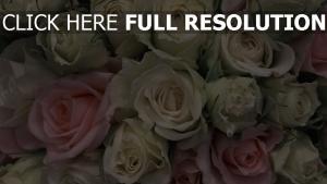 Hintergrundbilder weiße rosen Schöne Hintergrundbilder